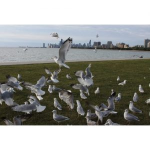 Chicago Postcard: Breakfast for the Seagulls at The Chicago Lakefront CPC0026